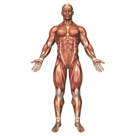 Anatomy of male muscular system front view Poster Print (Muscular System Poster)