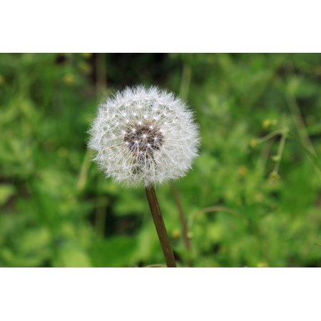 Laminated Poster Weed Nature Dandelion Plant Color Growth Seed Poster Print 24 X 36