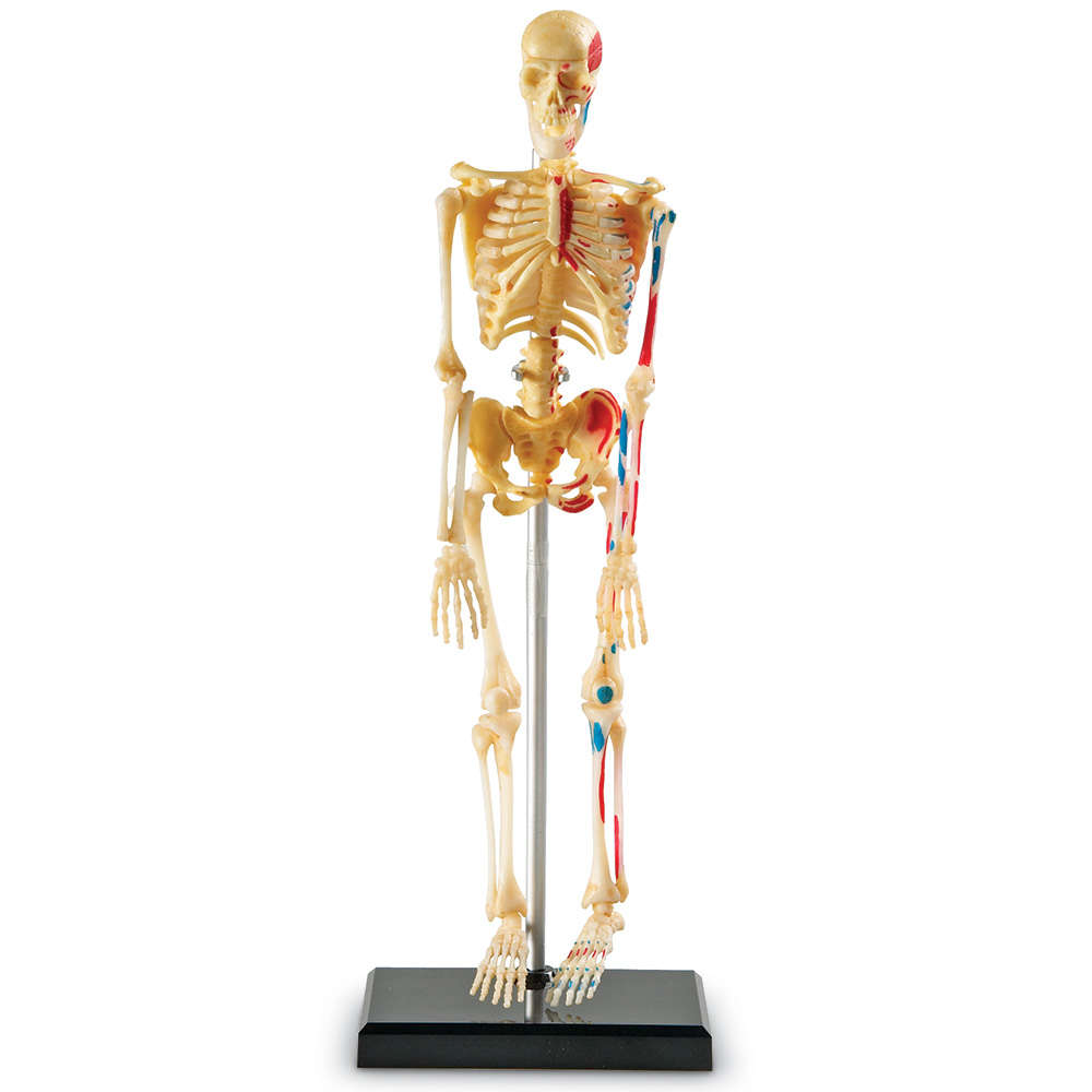 Learning Resources Skeleton Anatomy Model by LEARNING RESOURCES