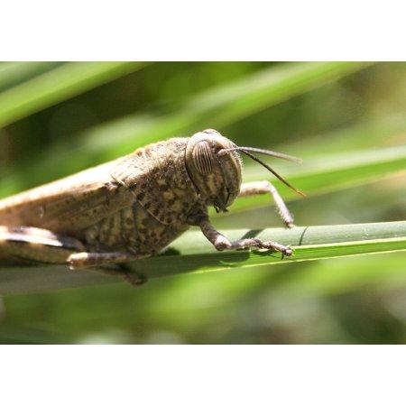 LAMINATED POSTER Grille Giant Grasshopper Caelifera Grasshoppers Poster Print 24 x 36 (Giant Grasshopper)
