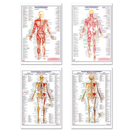 The Human Body - 4 Piece Medical / Educational Poster / Print Set ...