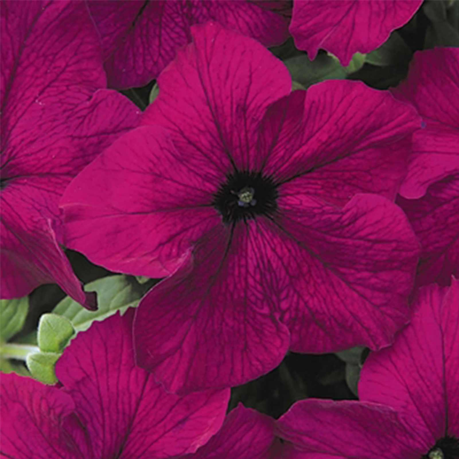 Petunia - Dream Series Flower Garden Seed - 1000 Pelleted Seeds - Midnight Color Flowers - Annual Blooms - Single Grandiflora Petunias