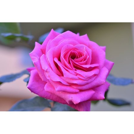 Peel n stick poster of desire nature beautiful pink roses for Rose adesive