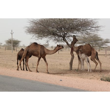 Canvas Print Scenery Camels Rajasthan India Desert Stretched Canvas 10 x 14