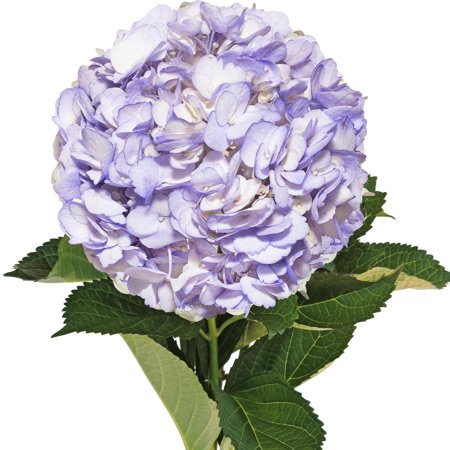 Fresh Cut Airbrushed Lavender Hydrangeas, Pack of 15 by InBloom Group