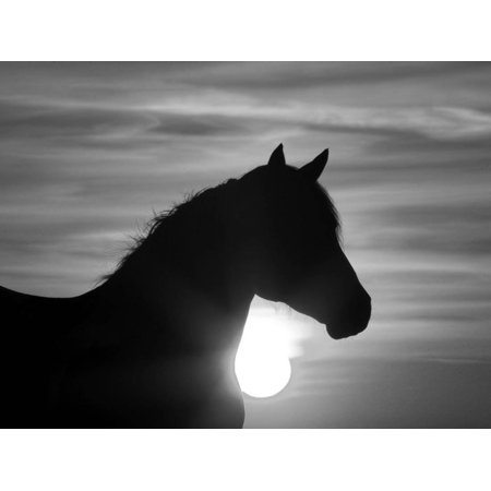 Silhouette of Wild Horse Mustang Pinto Mare at Sunrise, Mccullough Peaks, Wyoming, USA Print Wall Art By Carol - Wall Walkers