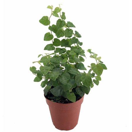 Green Creeping Fig Plant - Terrarium/Fairy Garden - Ficus pumila  - 4