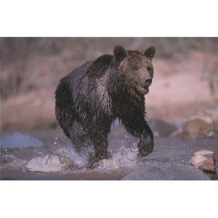 Posterazzi DPI1782116 Grizzly Bear Running Through Stream Poster Print by Natural Selection David Ponton, 17 x 11 - image 1 of 1
