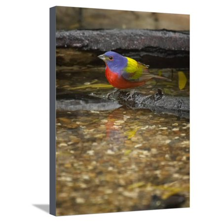 Painted Bunting, Passerina Ciris, Male Stretched Canvas Print Wall Art By Jack Michanowski Jack O-lantern Bunting