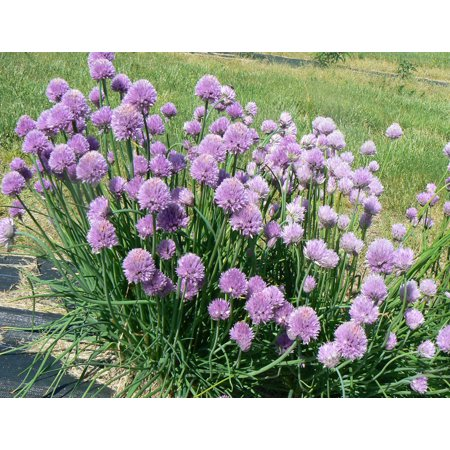 Image of Ferry Morse Fm Foil Chives