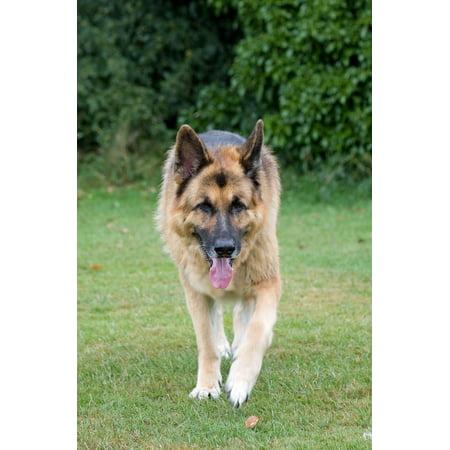 Canvas Print Pet Alsatian Dog German Shepherd Animal Guard Dog Stretched Canvas 10 x 14