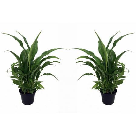 Peace Lily Plant - Spathyphyllium - Great House Plant - 2 Plants 3
