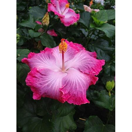 Swamp Cloud Fancy Tropical Cajun Hibiscus Plant 4 Pot Indoors