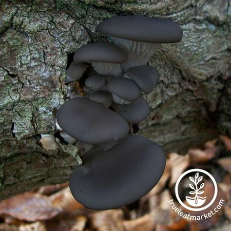 Mushroom Mojo Black Oyster Mushroom Mycelium Plug Spawn - 100 Count Plugs - Grow Edible Gourmet & Medicinal Black Oyster Fungi On Trees & Logs - Pleurotus