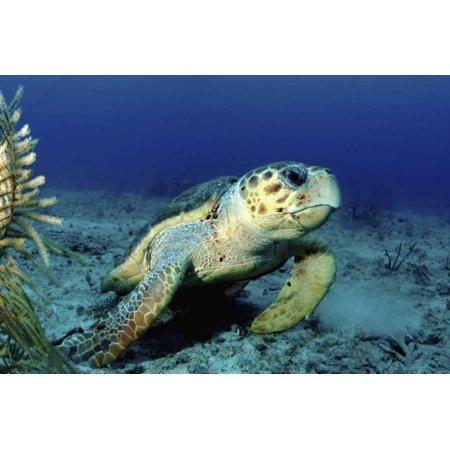 Loggerhead Sea Turtle, Nassau, the Bahamas Print Wall Art By Stocktrek Images