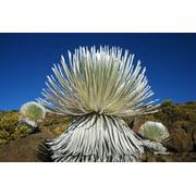 USA Hawaii Islands Haleakala National Park Maui Young Silversword Plant PosterPrint
