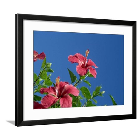 Hibiscus Framed (Pink Hibiscus Flowers, Bermuda, Central America Framed Print Wall Art By Robert)