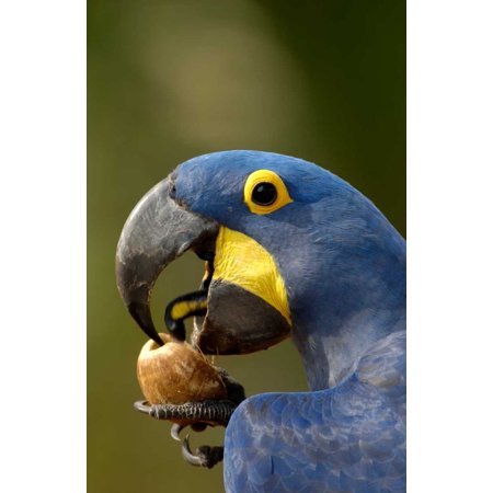 Hyacinth Macaw cracking open a Piassava Palm nut to drink the milk Brazil Poster Print by Pete Oxford