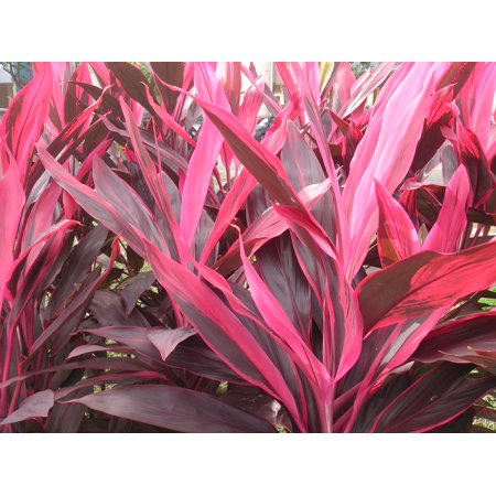 Exotic Tropical Plant - Hawaiian Exotic Flower Plant Roots -Red Ti Logs