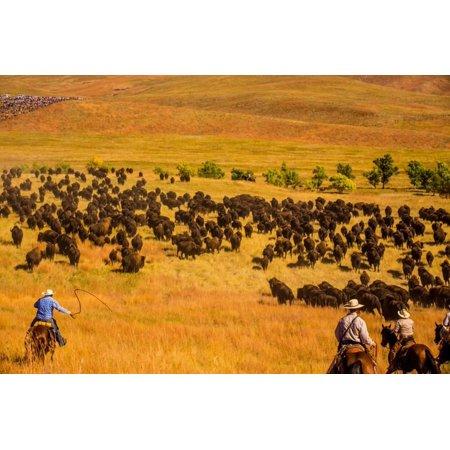 Buffalo Round Up, Custer State Park, Black Hills, South Dakota, United States of America Print Wall Art By Laura (Custer State Park Buffalo)
