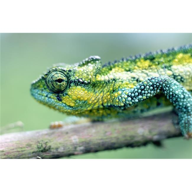 Chameleon In The Forests of Mt Meru, Close Up Poster Print, 38 x 24 - Large - image 1 of 1