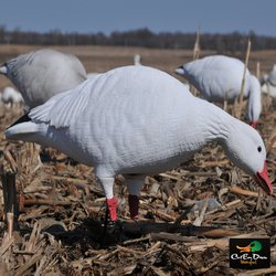 AVERY OUTDOORS GHG PRO-GRADE FULL BODY SNOW GOOSE DECOYS - HARVESTER PACK