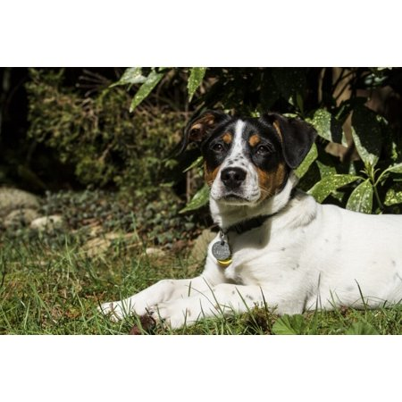 Four month old Fox Terrier Hound mixed breed puppy resting outside after active play.  Poster Print by Janet Horton Terrier Mix Puppy