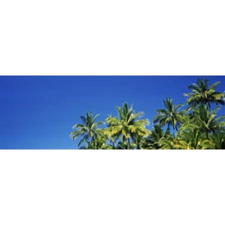 Low angle view of palm trees Maui Hawaii USA Poster (Maui Jim Nine Palms)