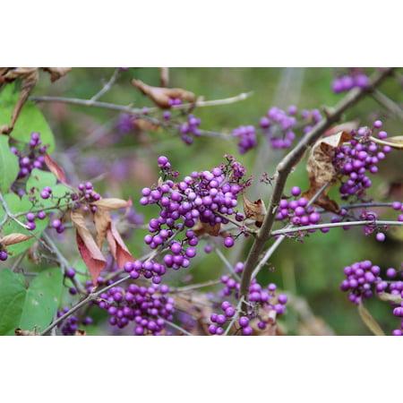 Canvas Print Lilac Plant Fruits Purple Bush Violet Berries Stretched Canvas 32 x 24