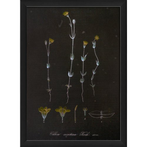 The Artwork Factory Chlora Serotina Vintage Plant Study Framed Graphic Art by Blueprint Artwork