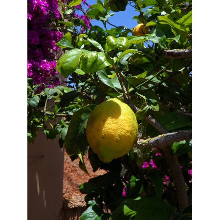 - Yellow Citrus Fruit Lemon Tree Lemon Citrus Fruit Poster Print 24 x 36