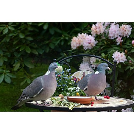 LAMINATED POSTER Dove Ringdove Bird Couple Columba Palumbus Poster Print 24 x 36 ()