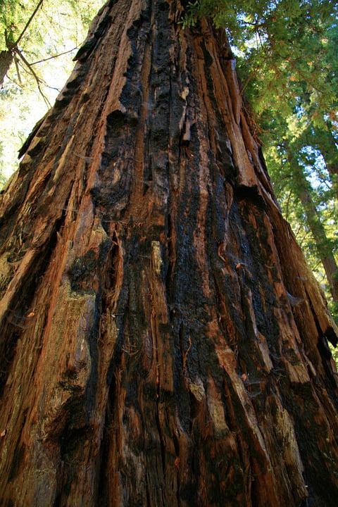 Tall Redwood Tree Earrings