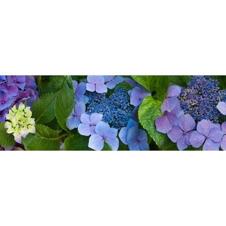 Close-Up of Hydrangea Flowers Print Wall Art