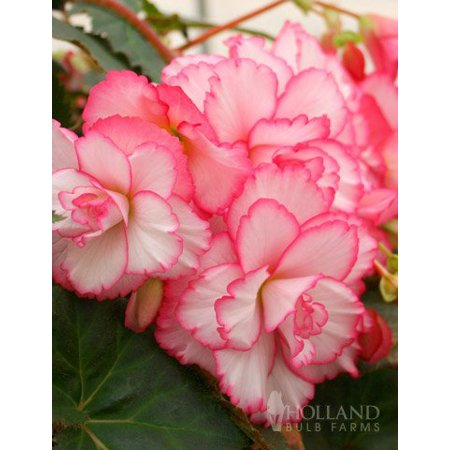 Camelia Rose - Bouton de Rose Double Camelia Begonia