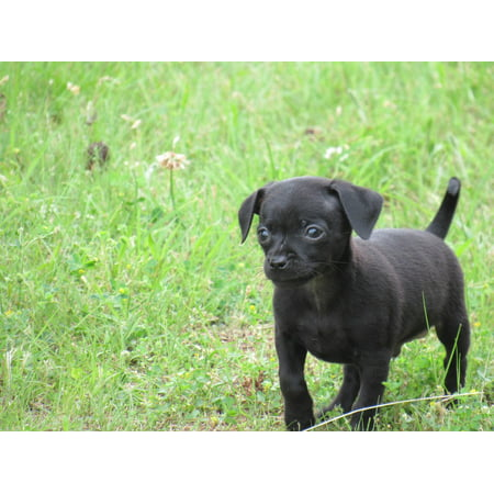 LAMINATED POSTER Puppy Dog Canine Grass Chihuahua Cute Pet Black Poster Print 24 x (Pug Cross Chihuahua Puppies For Sale Australia)