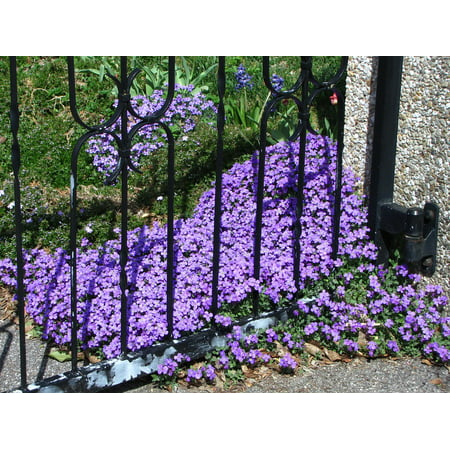 LAMINATED POSTER Plant Spring Violet Purple Flowers Bloom Poster Print 24 x 36