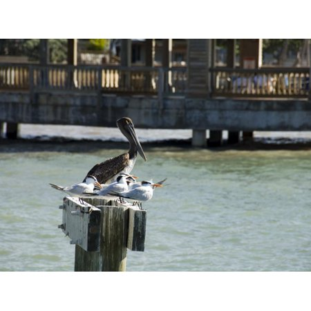 Pelican and Sea Birds on Post, Key West, Florida, USA Print Wall Art By R H