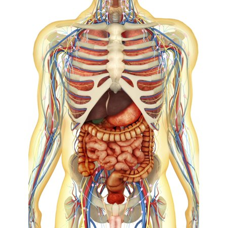 Transparent human body with internal organs nervous system lymphatic system and circulatory system Poster