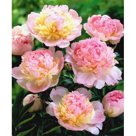 1 PEONY RASPBERRY SUNDAE ROOTSTOCK, 3 -5 Eyes, Great for Fall Planting!