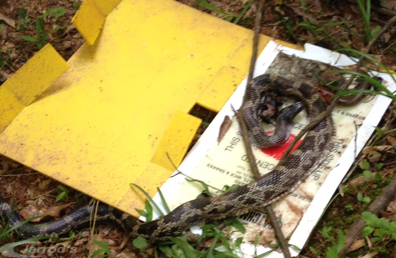 Communication on this topic: How to Trap a Snake, how-to-trap-a-snake/