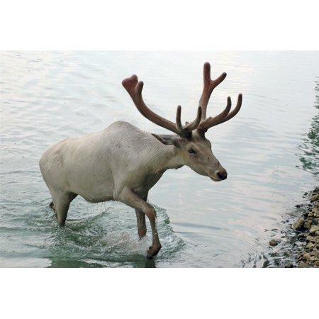 Laminated Poster White Caribou Reindeers Water Antlers Point Buck Poster Print 24 x 36 - Bulk Reindeer Antlers