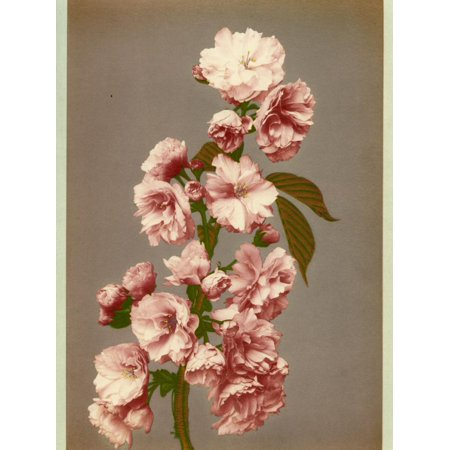 Cherry Tree Leaves - Japanese Cherry Tree Blossom and Leaves Print Wall Art