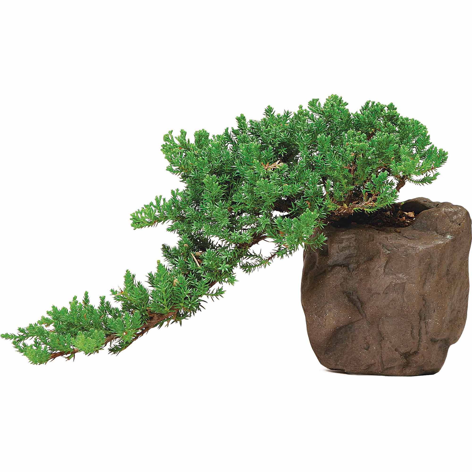 Green Mound Juniper Bonsai Tree In Rock Pot by Brussel's Bonsai