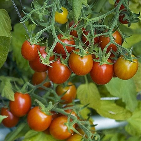 "Grape Tomato Plant- Two (2) Live Plants - Not Seeds - each 5"" to 7"" Tall, in 3.5 Inch Pots"