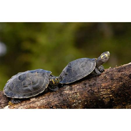 Yellow-spotted Amazon River Turtle pair basking Amazon Ecuador Poster Print by Pete -