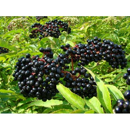 Ranch Elderberry Perennial Shrub - Sambucus - 3.25