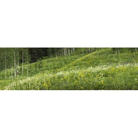 Aspen trees and wildflowers on hillside Crested Butte Gunnison County Colorado USA Poster