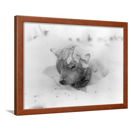 Frozen Sled Dog Framed Print Wall Art