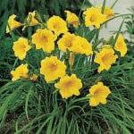 Dwarf Daylily (25 Stella D'Oro Bareroot 1-2 Fan Plants )